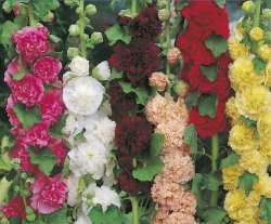 Hollyhock Seeds 'Double Mixed' by Country Value