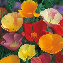 Californian Poppy 'Single Mixed' by Mr Fothergill's