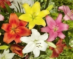 Asiatic Lily Bulbs In Mixed Colour Packs